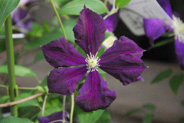 画像1: エトワール・ヴィオレット  C.'?toire Violette' (1)